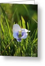 Wild Violet Greeting Card