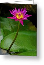 Wild Water Lily Greeting Card