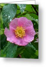Wild's Pink Rose Greeting Card