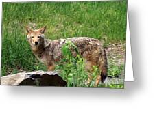 Wiley Coyote Greeting Card