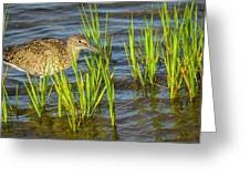 Willet Feeding In The Marsh 2 Greeting Card