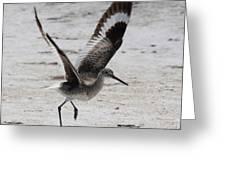 Willet Take-off Greeting Card