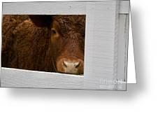 Williamsburg Calf Greeting Card