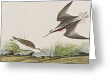 Wilson's Phalarope Greeting Card
