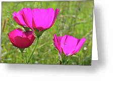 Winecup Flowers In Sunlight Greeting Card