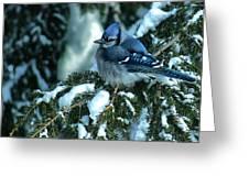 Winter Blue Jay Greeting Card