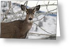 Winter Doe Of The Okanagan Greeting Card