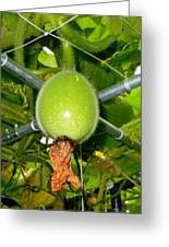 Winter Melon In Garden 1 Greeting Card