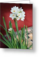 Winter Narcissus II Greeting Card