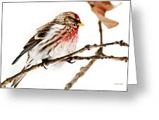Winter Redpoll Greeting Card