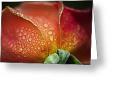 Winter Rose Four Greeting Card