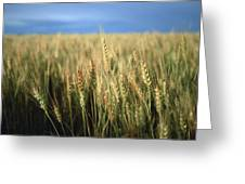 Winter Wheat In Linn, Kansas Greeting Card