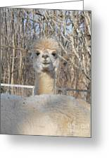 Winter White Alpaca Greeting Card