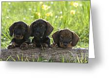 Wire-haired Dachshund Puppies Greeting Card