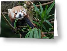 Wizened Red Panda Greeting Card