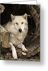 Wolf In A Log Greeting Card