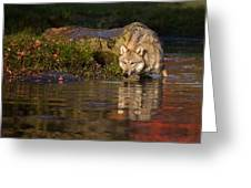 Wolf In Pond Greeting Card
