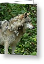 Wolf In The Woods Greeting Card by Donna Parlow