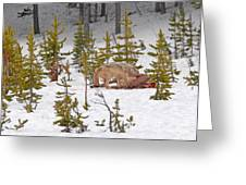 Wolf On Elk Kill Greeting Card