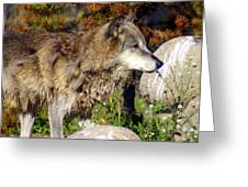 Wolf On Patorl Greeting Card