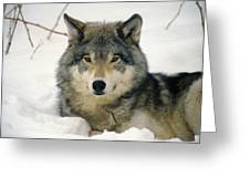 Wolf Rests In Snow Greeting Card