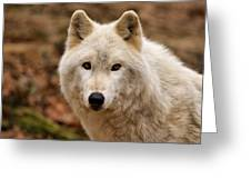 Wolf Watching Greeting Card