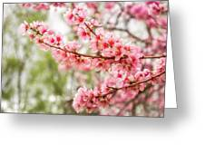 Wonderful Pink Cherry Blossoms At Floriade Greeting Card