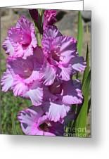 Wonderful Pink Gladiolus Greeting Card