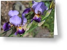 Wonderful Purple Irises Greeting Card