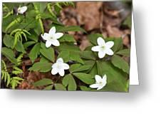 Wood Anemone Blooming Greeting Card