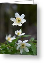 Wood Anemone  Greeting Card