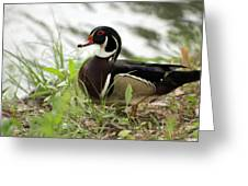 Wood Duck 2 Greeting Card by Geary Barr