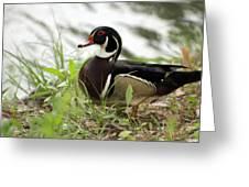 Wood Duck 2 Greeting Card