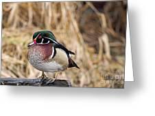 Wood Duck 3 Greeting Card