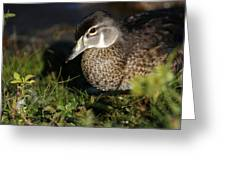 Wood Duck Female Greeting Card