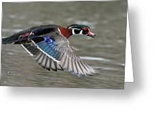 Wood Duck In Action Greeting Card