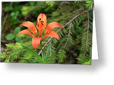Wood Lily Also Called Prairie Lily Or Western Red Lily Greeting Card