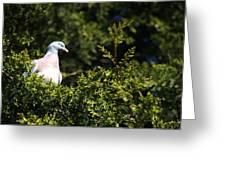 Wood Pigeon Greeting Card