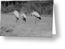 Wood Storks By The Water's Edge Greeting Card