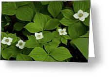 Woodland Bunchberry Blossoms Greeting Card