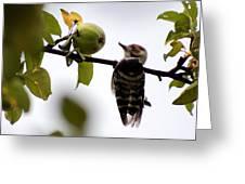 Woodpecker. Dendrocopos Minor Greeting Card