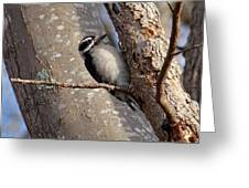Woodpecker Feb 2011 Greeting Card