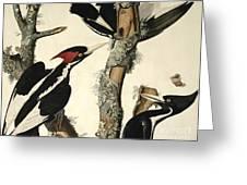 Woodpecker Greeting Card by John James Audubon