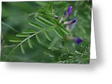 Woolly Vetch In Spring Greeting Card