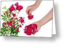 Worker Pick  Flowers Of Pink  Roses Greeting Card