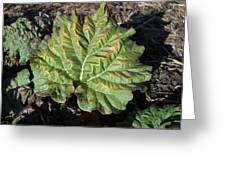 Wrinkled Green Rhubarb Leaf Greeting Card