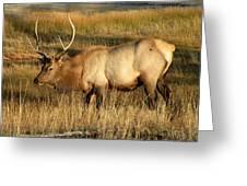 Wyoming Elk Greeting Card