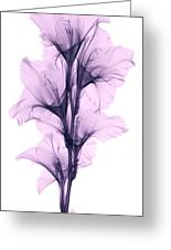 X-ray Of A Gladiola Flower Greeting Card