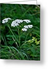Yarrow Flowerheads Greeting Card