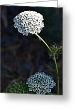 Yarrow In Stages Greeting Card
